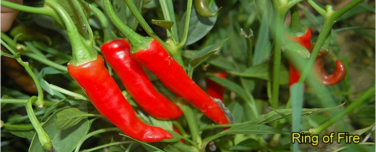 Chilli Gift Ideas