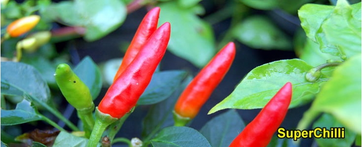 Fresh Chilli Packs